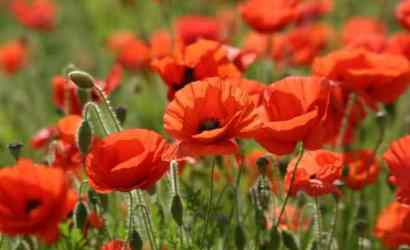 First World War Poppies